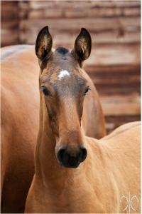 Photo cheval a vendre QORONEL DE LA GESSE